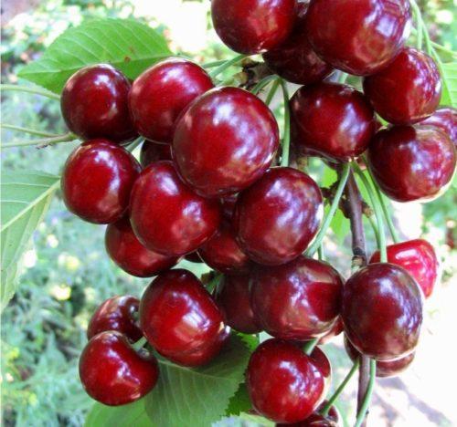 Ягоды черешни сорта Тютчевка с красно-вишневой кожурой, блестящей на солнце