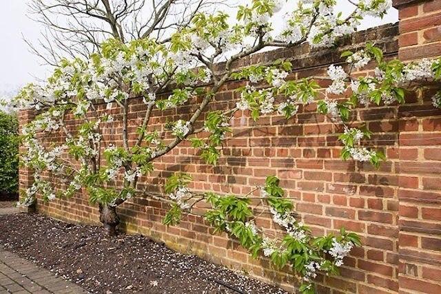 Взрослое деревце черешни с цветками вдоль кирпичного забора