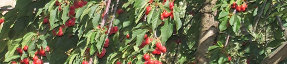 Поспевающие плоды черешни на дереве