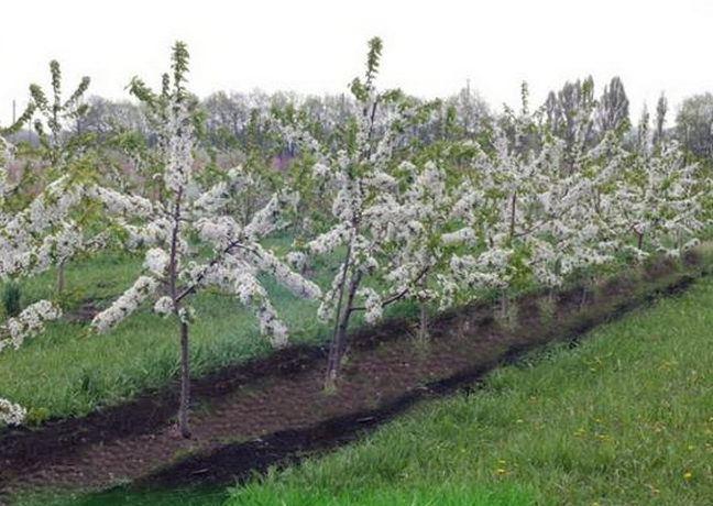Ряд молодых кустов черешни с ветками, усыпанными белыми цветками