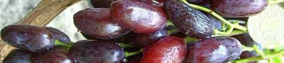 Плоды винограда Джованни спелые вблизи