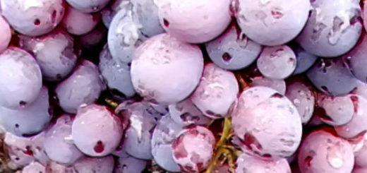 Спелые и собранные плоды винограда сорта Фараон в каплях росы