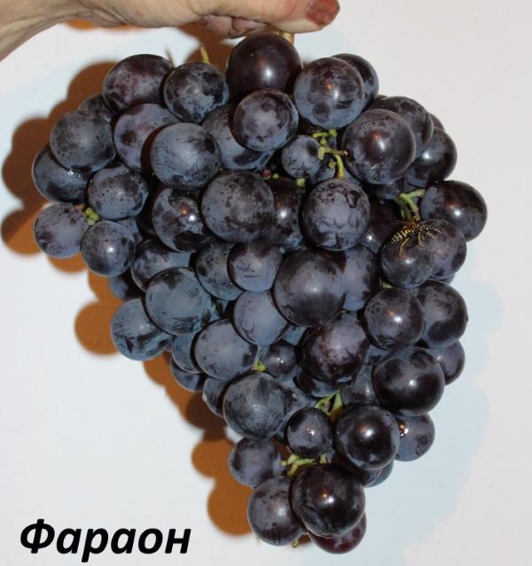Крупная кисть винограда сорта Фараон с плодами темно-синего цвета