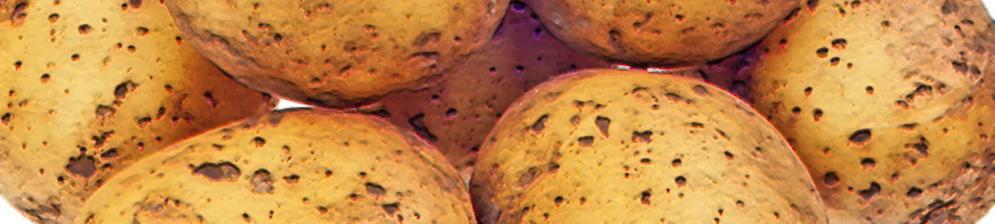 Мытые плоды картофель Гала вблизи