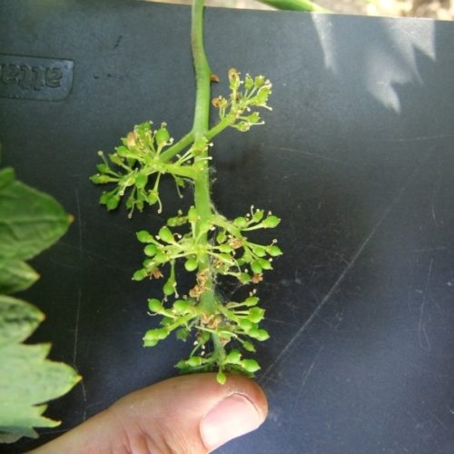 Соцветие винограда гибридного сорта Голд Фингер на черном фоне