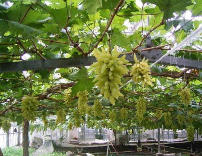 Виноградная лоза на арочной шпалере с гроздьями причудливых ягод сорта Голд Фингер