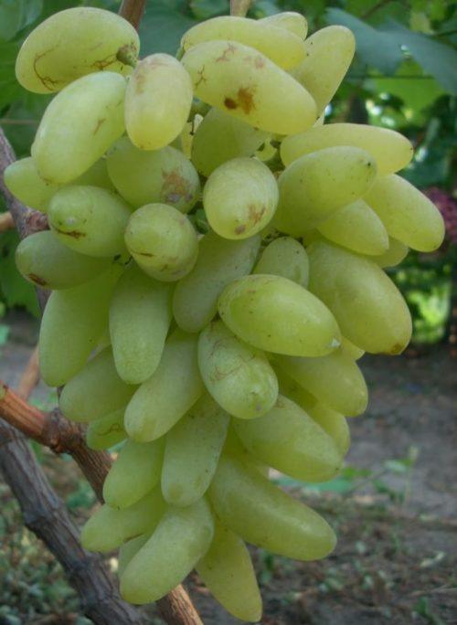 Кисть винограда столового сорта Голд Фингер с ягодами светло-зеленого окраса