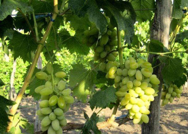 Грозди столового винограда сорта Голд Фингер с продолговатыми ягодами салатового окраса