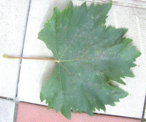Лист винограда сорта Голд Фингер крупным планом