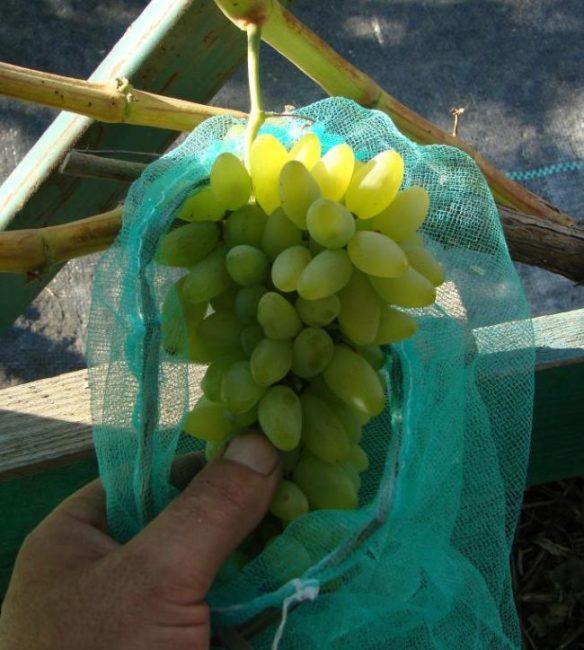 Кисть столового винограда с светло-зелеными ягодами в капроновом защитном мешочке