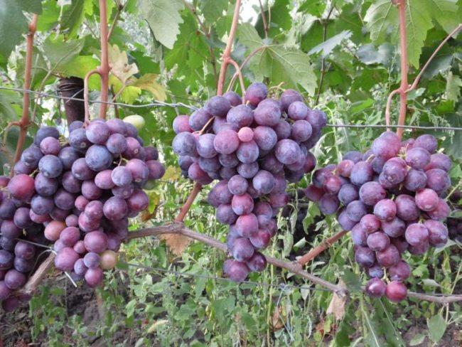 Три крупные кисти гибридного винограда Фараон с темно-фиолетовыми ягодами
