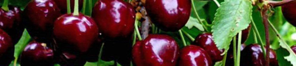 Плоды черешни Ипуть вблизи спелые