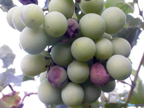 Кисть столового винограда с загнивающими плодами грязно-коричневого цвета