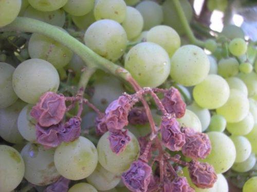 Гроздь плодового винограда с признакми поражения ложной мучнистой росой