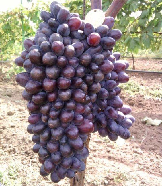 Крупная гроздь с крылом винограда сорта Юпитер с ягодами темно-фиолетового окраса