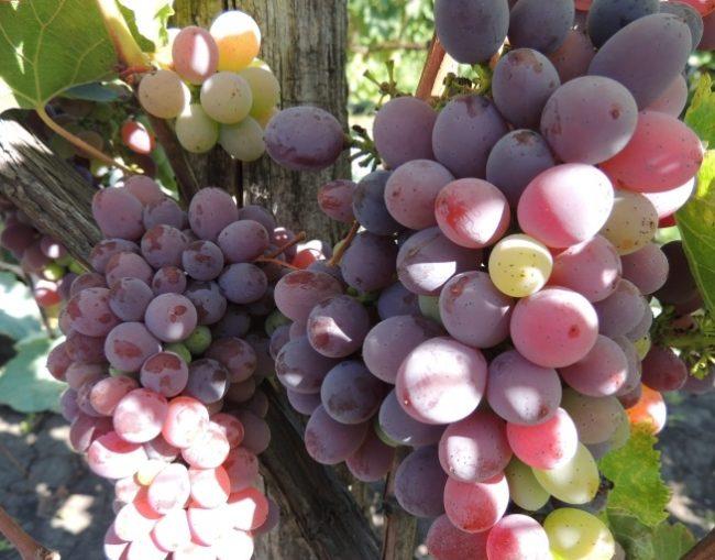 Грозди столового винограда бессемянного сорта с овальными ягодами фиолетового окраса