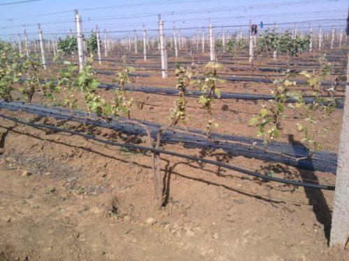 Виноградная лоза ранней весной с зелеными ростками