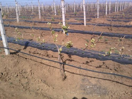 Молодые побеги винограда на лозе после прививки