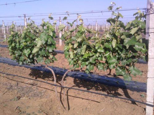 Темно-зеленые побеги на виноградной лозе, выращиваемой в промышленном хозяйстве
