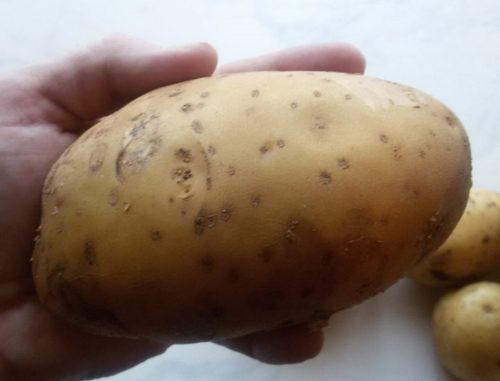 Реальное фото крупным планом картофелины сорта Гала