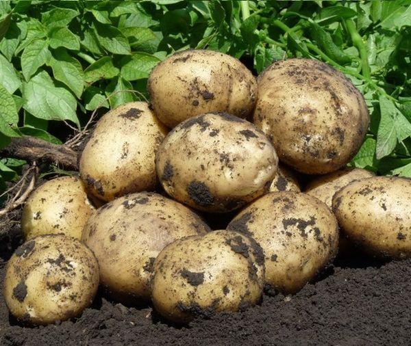 Горстка выкопанных клубней картошки популярного сорта Гала