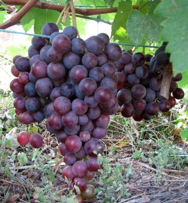 Крупная кисть столового винограда сорта Фараон с плодами шаровидной формы
