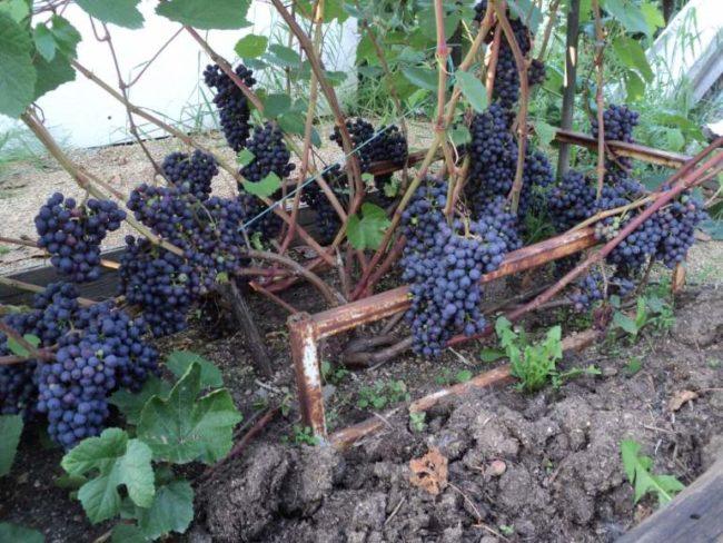 Куст винограда сорта Памяти Домбковской и кисти спелых плодов темно-синего цвета