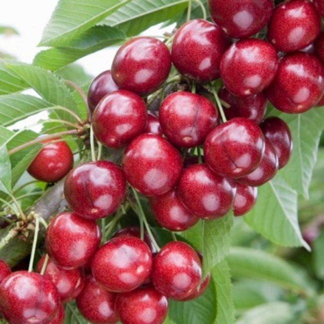 Ветка черешни колоновидного сорта Хелена с крупными плодами красно-рубинового цвета