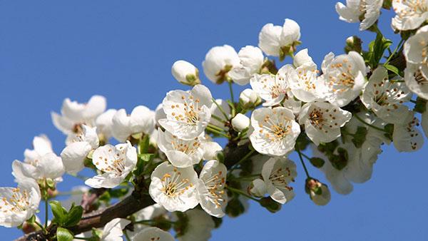 Ветка колоновидной черешни сорта Сабрина с белыми цветками