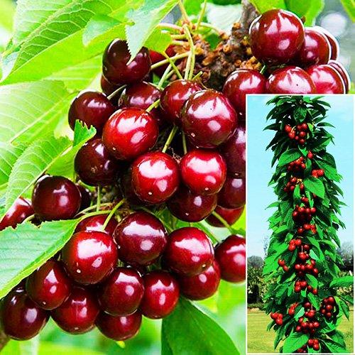 Плоды колоновидной черешни сорта Сэм и часть ствола, усыпанного ягодами