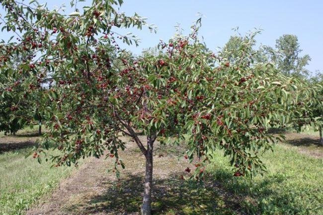 Куст черешни с низким штамбом в период созревания ягод