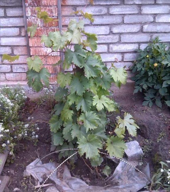 Двухлетний куст столового винограда с рассеченными листьями на фоне кирпичной стены