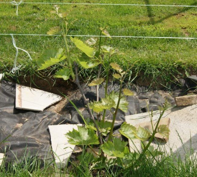 Молодой куст винограда с зелеными побегами в траншее, покрытой мульчирующим материалом