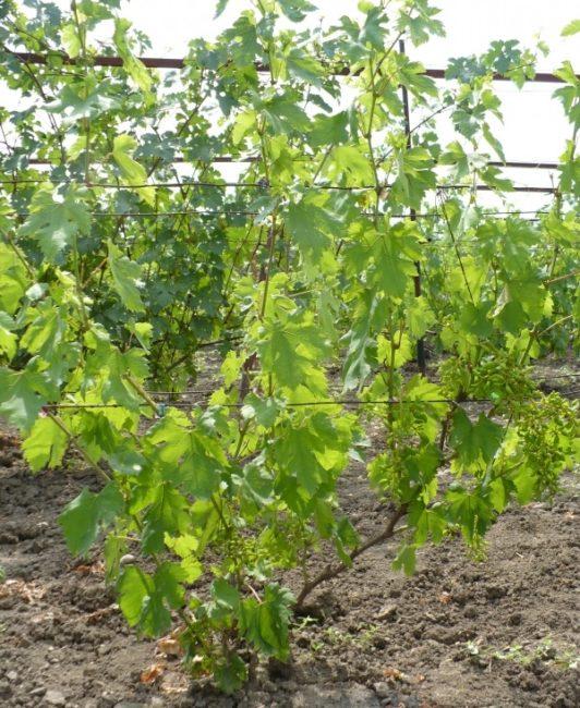 Молодой куст гибридного винограда на одноплосткостной шпалере