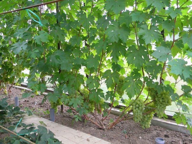 Взрослый куст гибридного винограда с зелеными листьями на самодельной шпалере