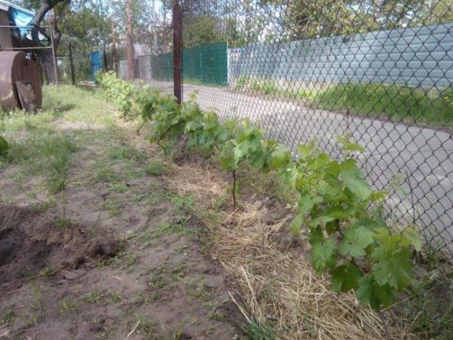 Молодые кустики винограда, высаженные вдоль сетки-рабицы
