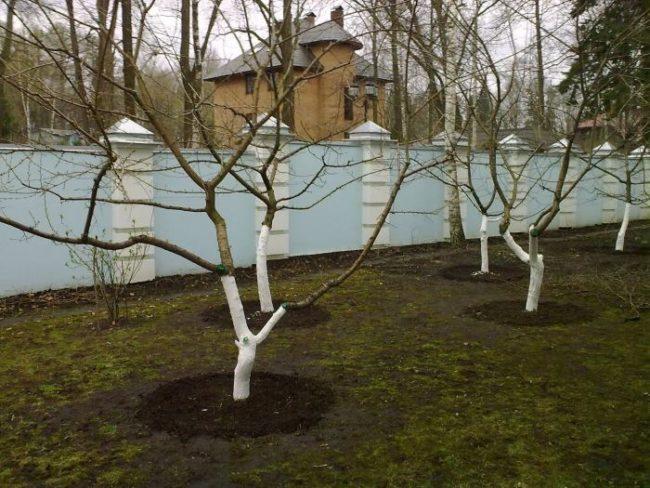 Кусты черешни после зимовки с побеленными известкой стволами