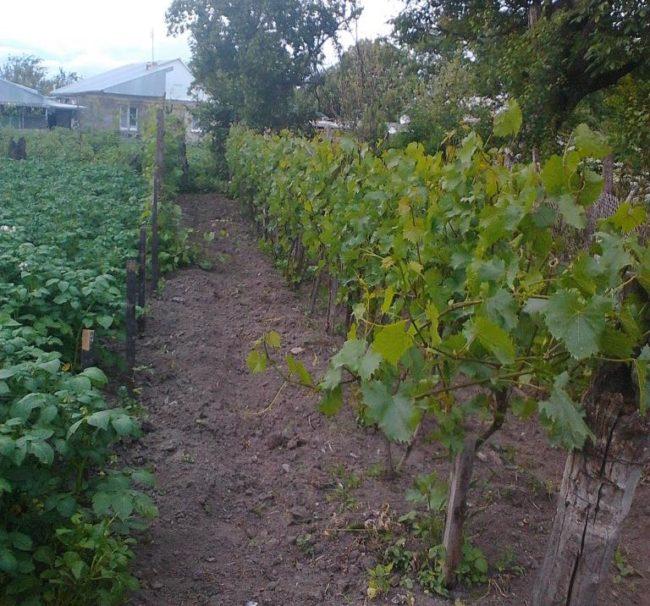 Кусты винограда технического сорта на штамбовой формировке