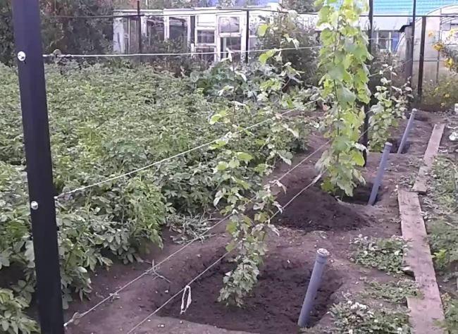 Молодые кусты столового винограда, высаженные в ямы с прикорневым поливом