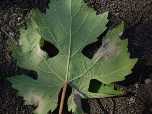 Нижняя сторона листа плодового винограда с белыми пятнами вследствие поражения милдью