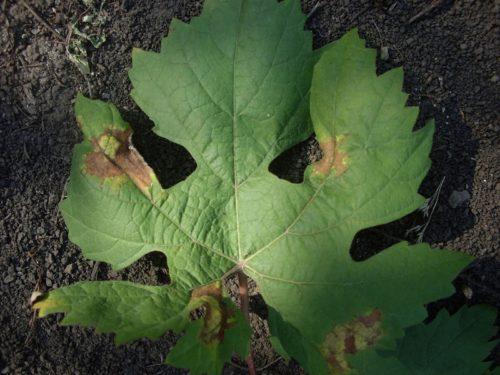 Виноградный лист с признаками поражения милдью