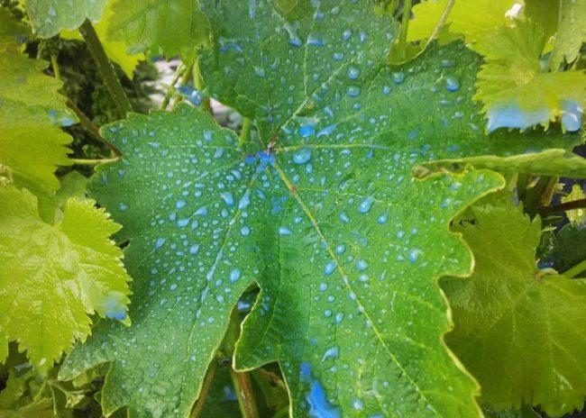 Зеленый лист столового винограда с капельками раствора медного купороса