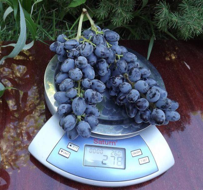 Гроздь спелого винограда кишмишного сорта Юпитер на бытовых весах