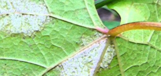 Лист винограда поражённый грибком милдью