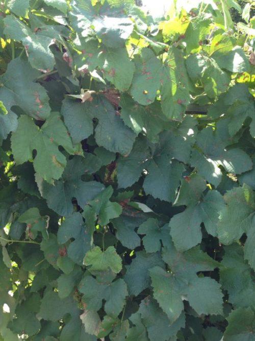 Куст столового винограда с признаками появления мучнистой росы на листьях