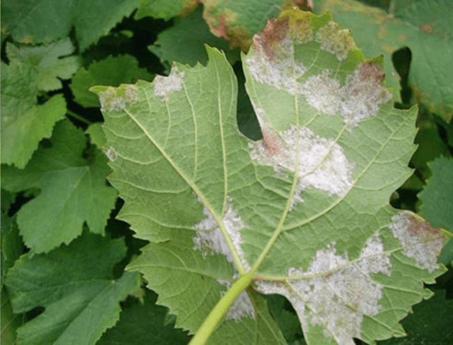 Обратная сторона виноградного листа с белесыми пятнами от ложной мучнистой росы