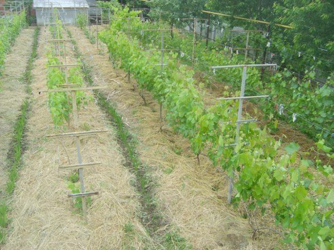 Мульчирование междурядий сеном в частном винограднике