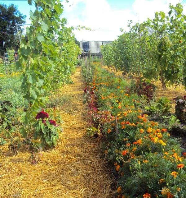 Мульчирование винограда соломой и посадка бархатцев между рядами шпалер