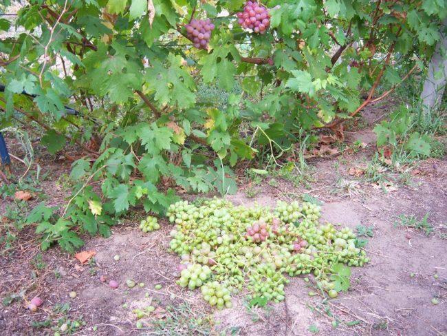 Взрослый куст винограда и оборванные пасынковые кисти на поверхности земли