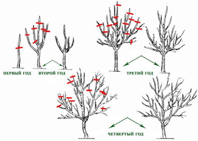Схема формирующей обрезки кроны черешни с первого по четвертый годы жизни растения